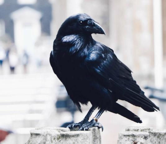 Traditions corbeau