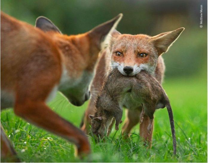 Wildlife Photographer of the year Matthew Maran
